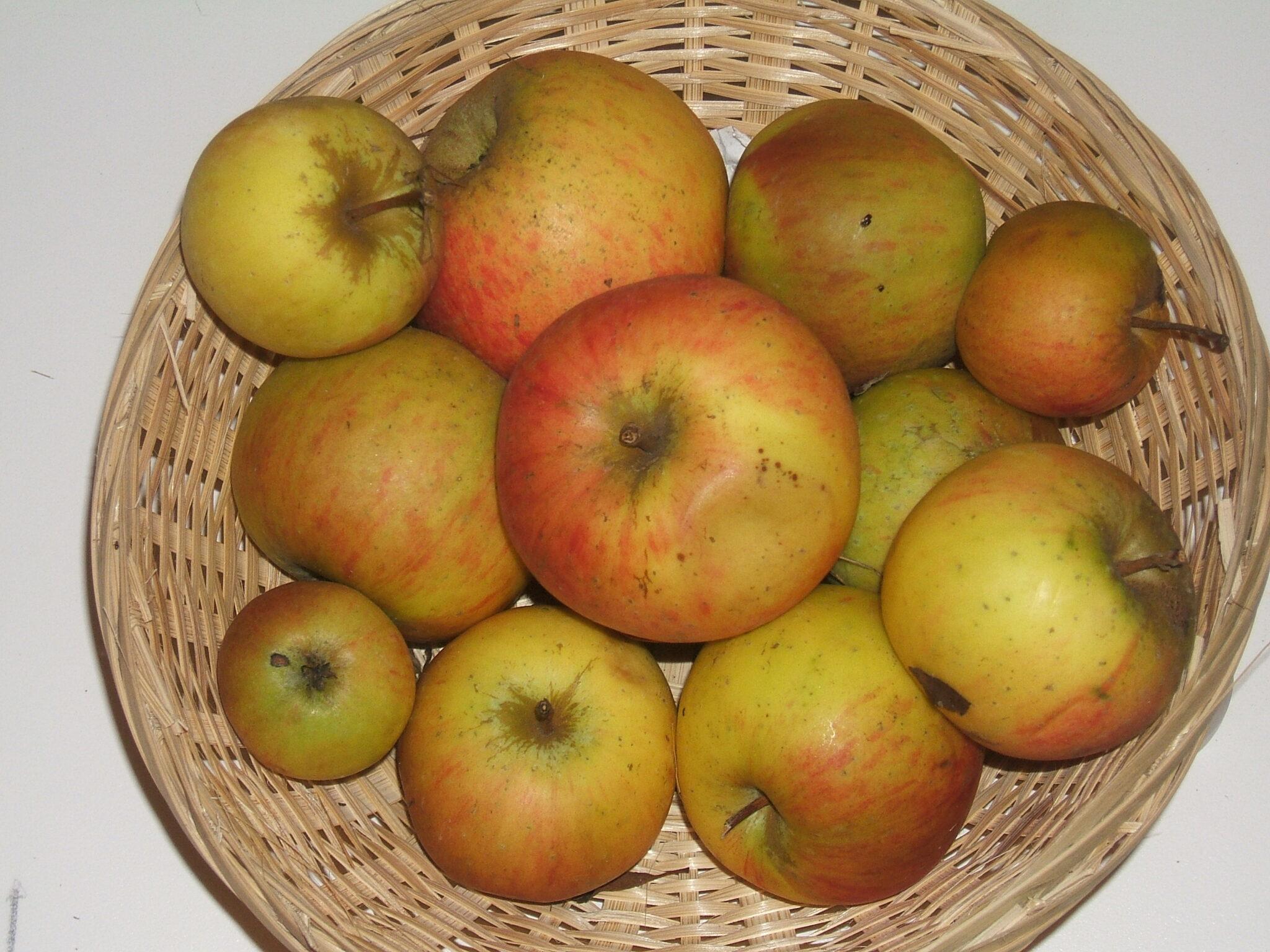 Antoinette de Caux 2 (fruit).
