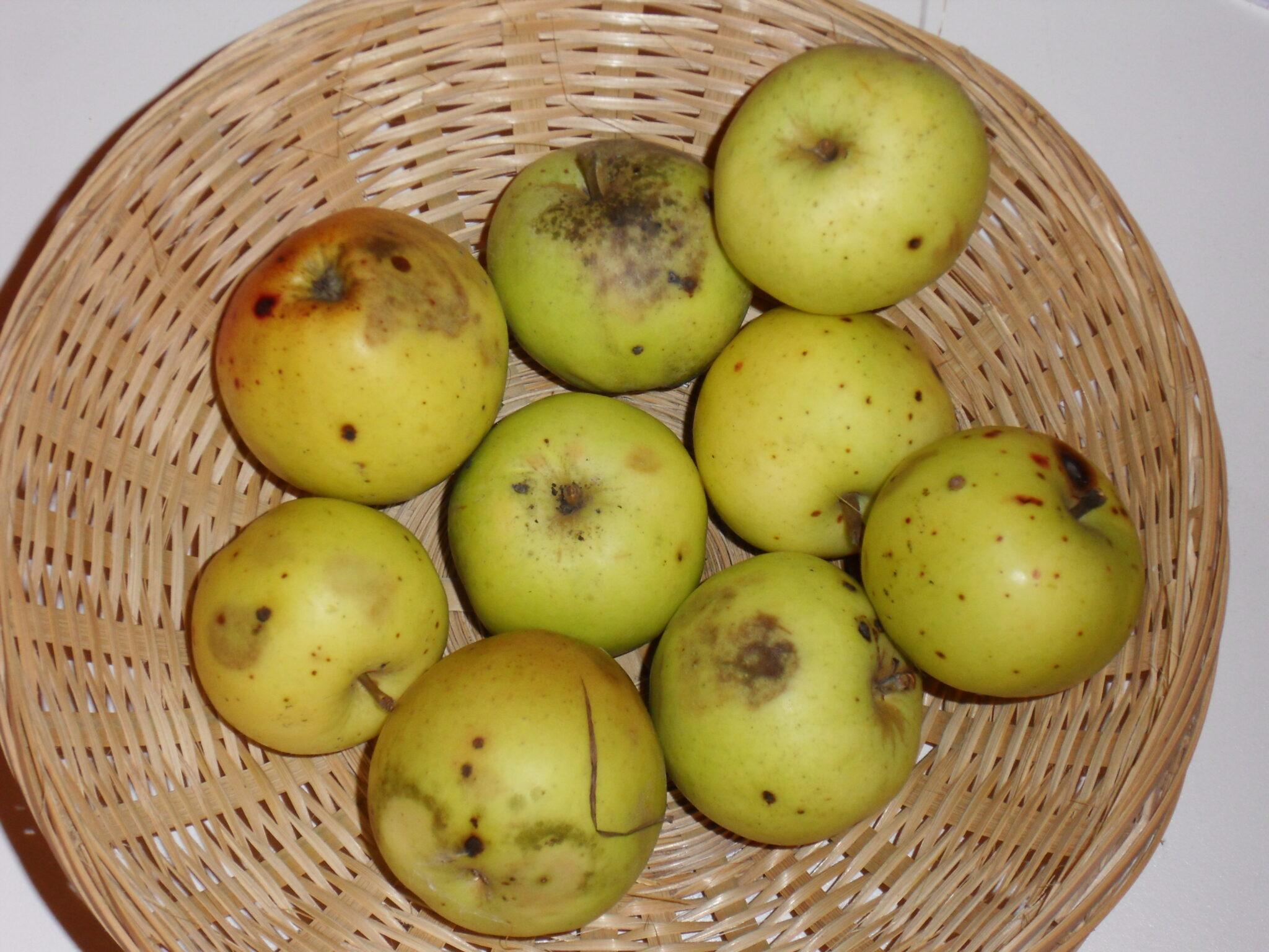 Bedan (fruit).