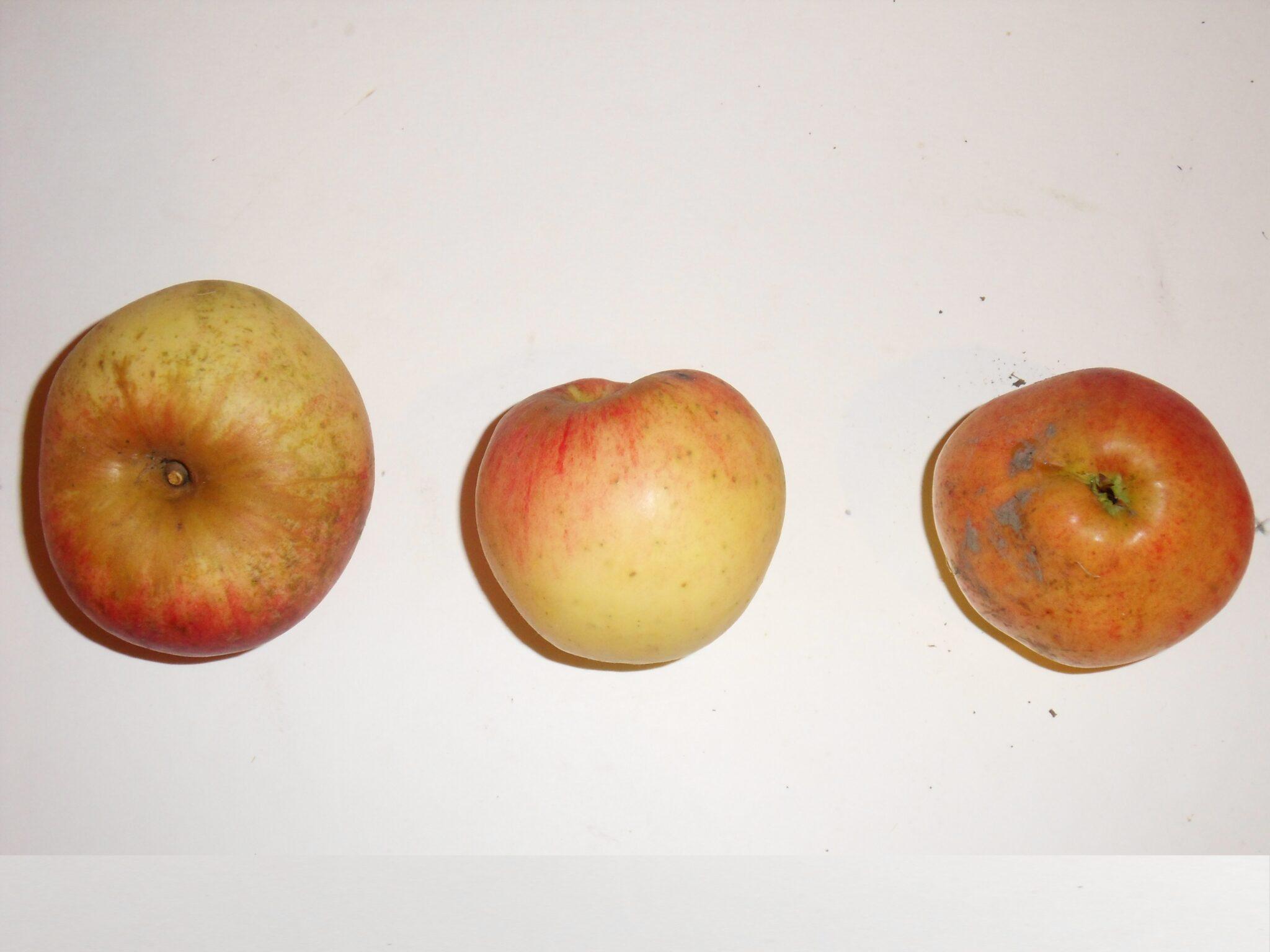 Belle Fleur Double 2 (fruit).