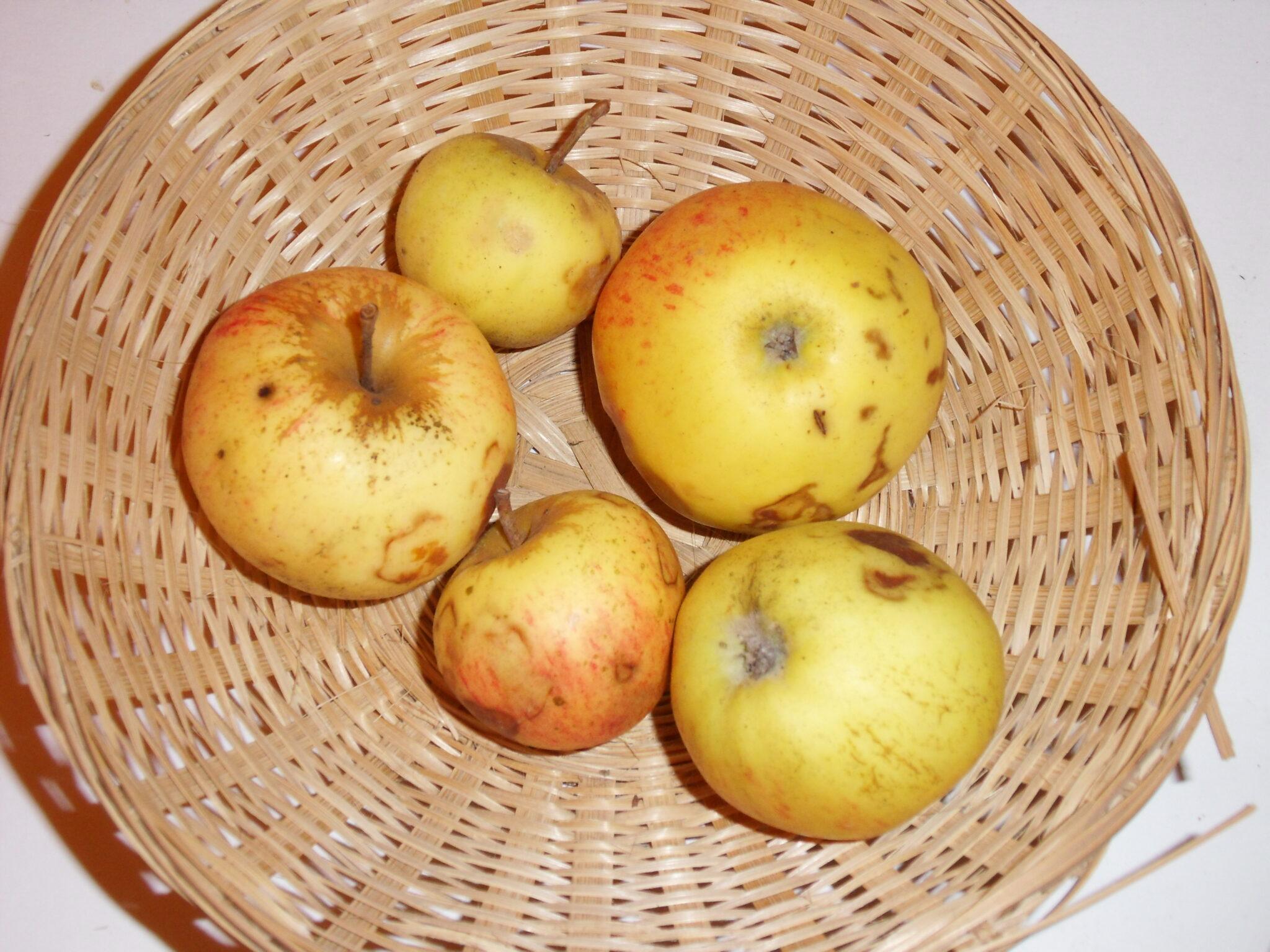 Châtaignier 1 (fruit).