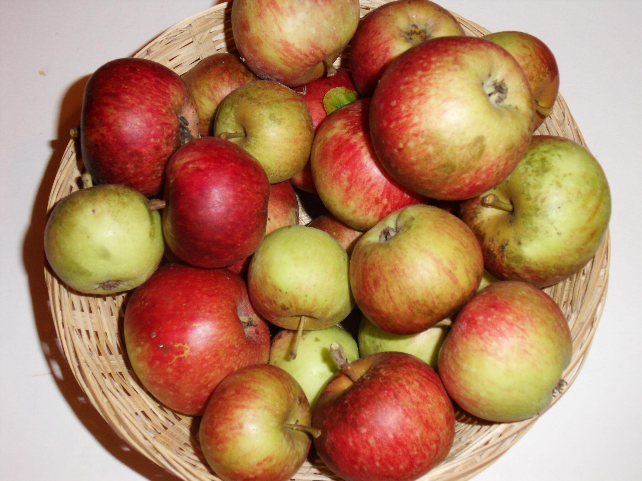 Châtaignier 3 (fruit).