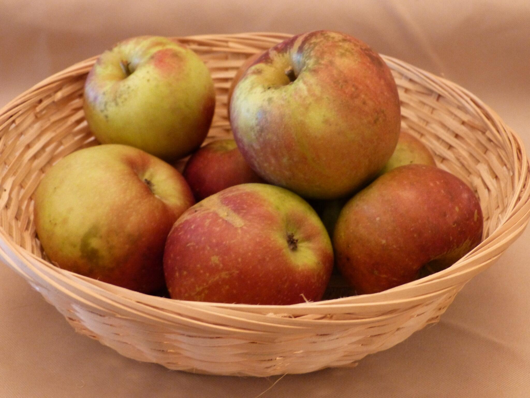 Châtaignier 4 (fruit).