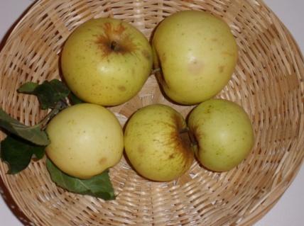 Couder n°11 (fruit).