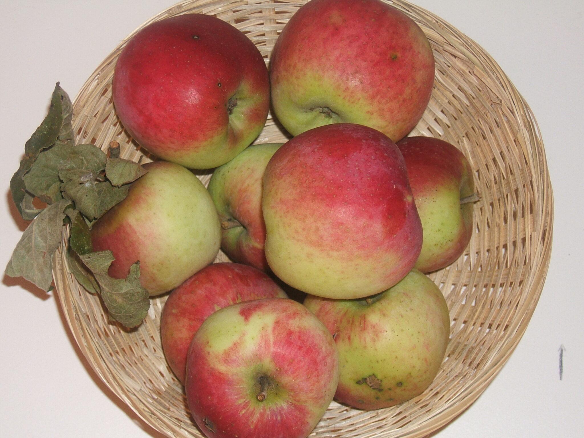 Cramoisie de Gascoyne 1 (fruit).