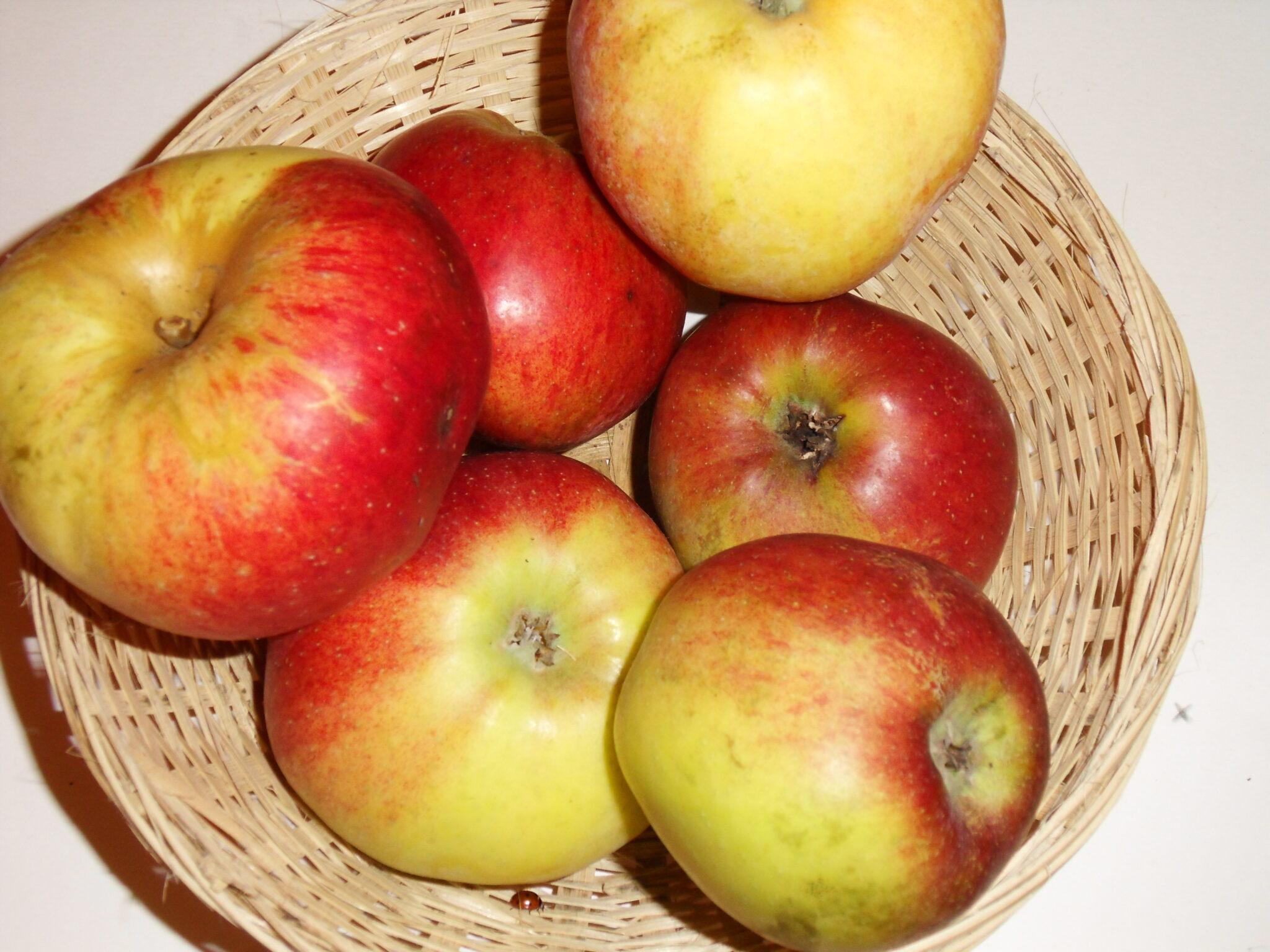 Double Bon Pommier 1 (fruit).