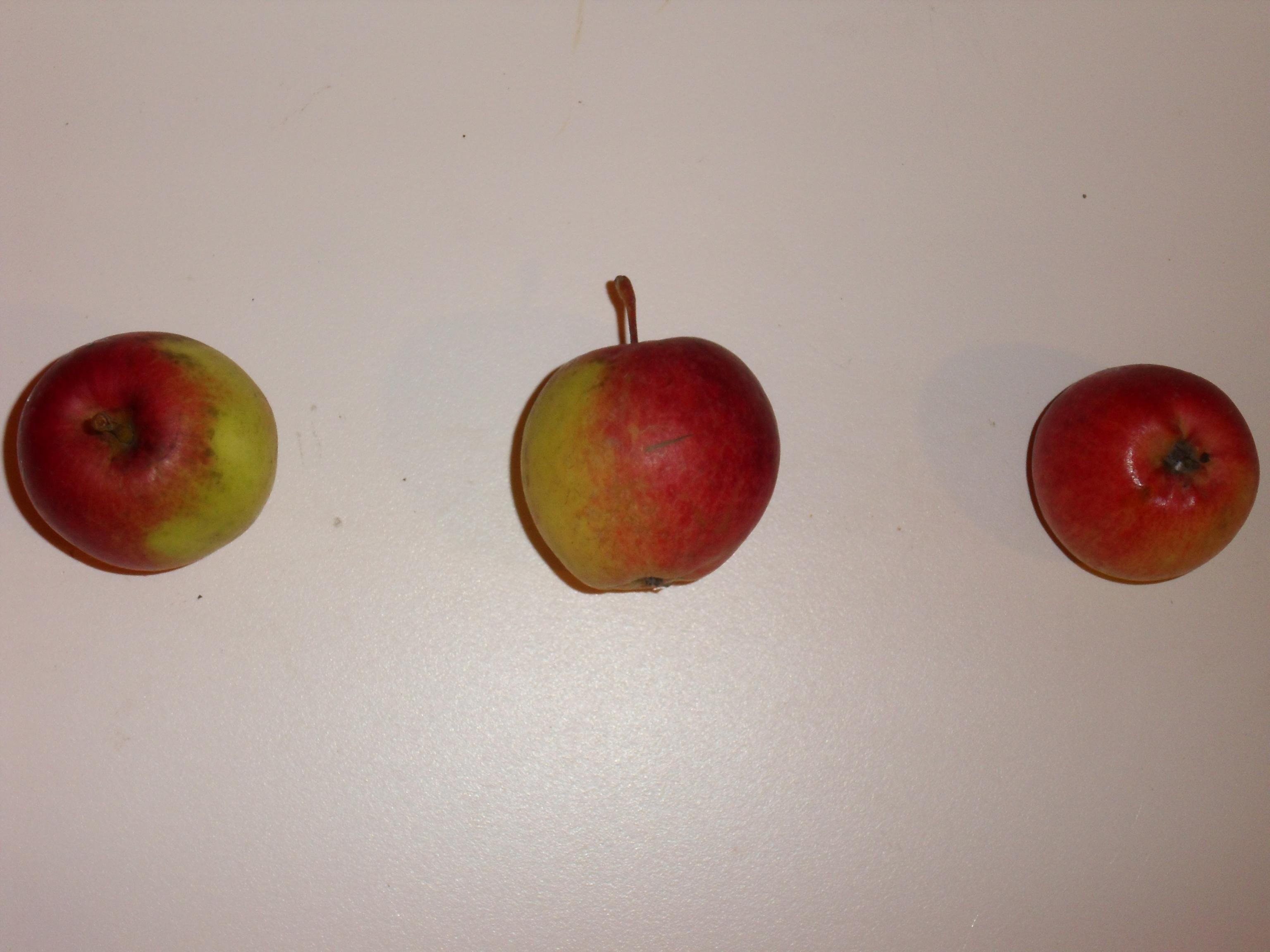 Fréquin à grappes (fruit).