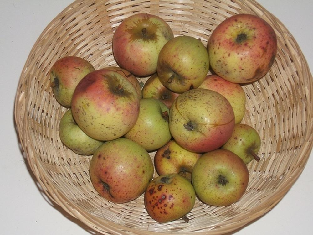 Noël des champs (fruit).