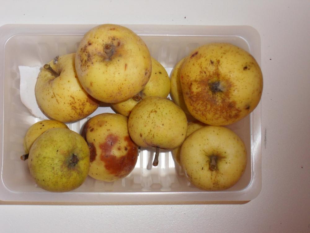 Panneterie (fruit).