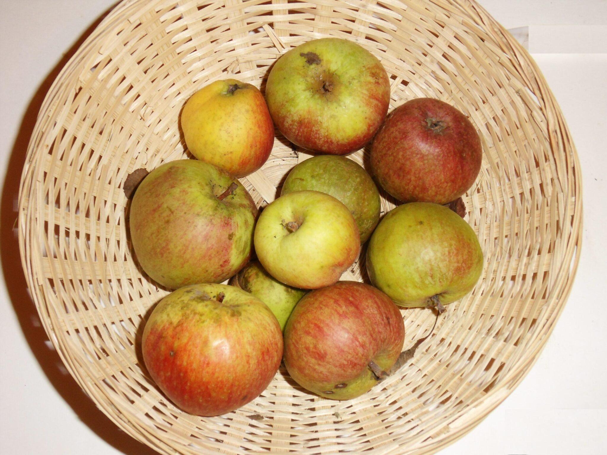 Roquet de Brémontier (fruit).