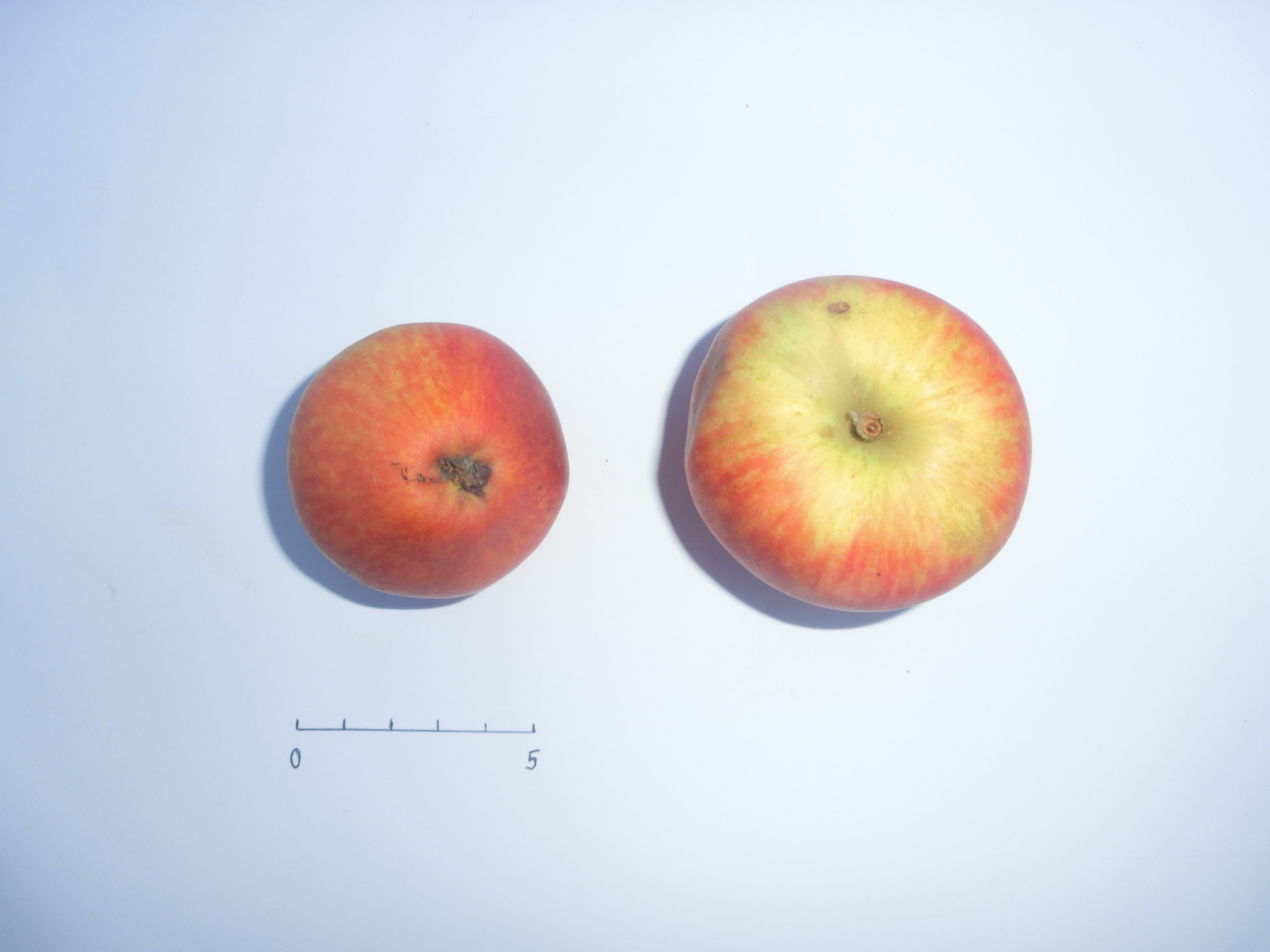 Belle Pomme Fréret (VFB)