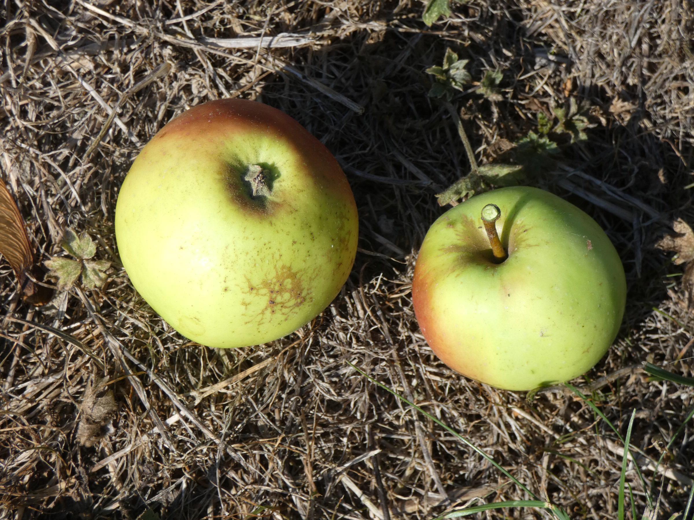 Pomme de Rouen (VFB)