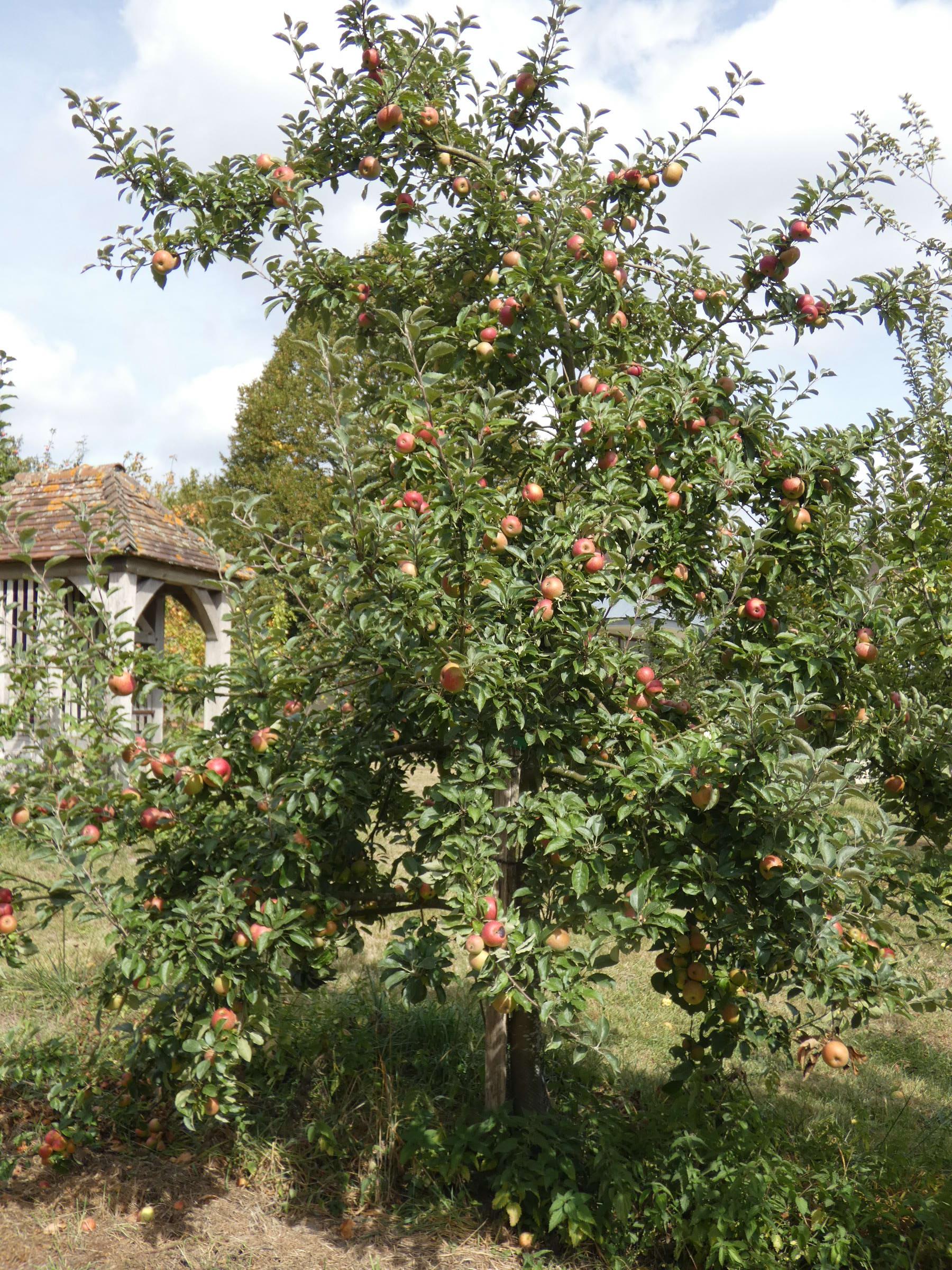 Pomme Ouin (VFB)