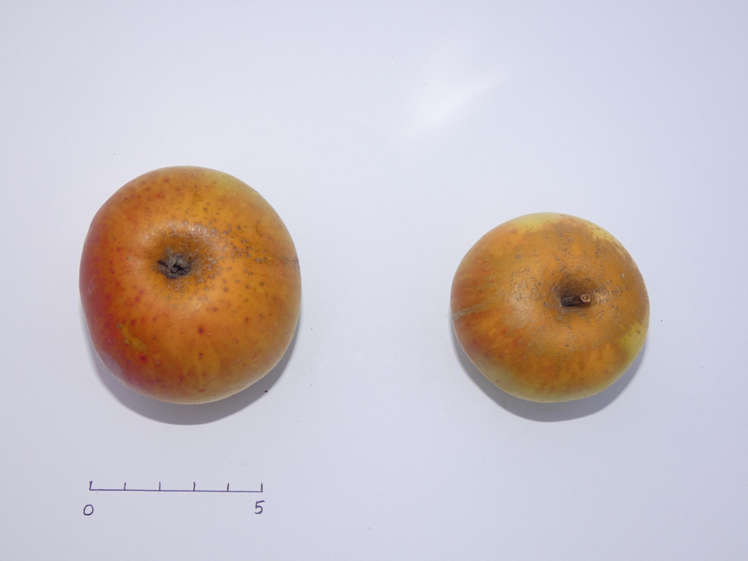 Muscadet de Dieppe 1 (VFB)