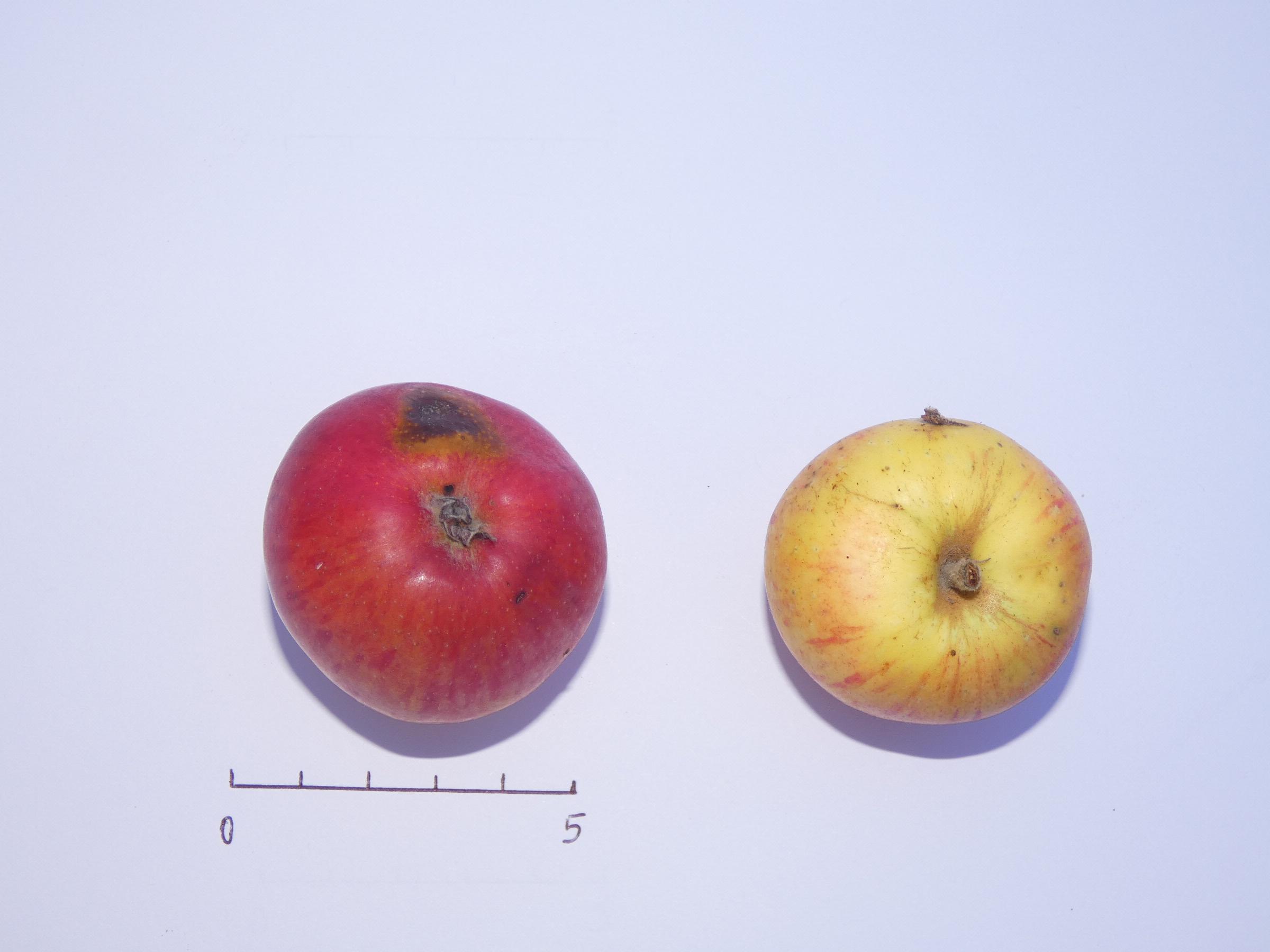 Pomme des Domaines (VFB)