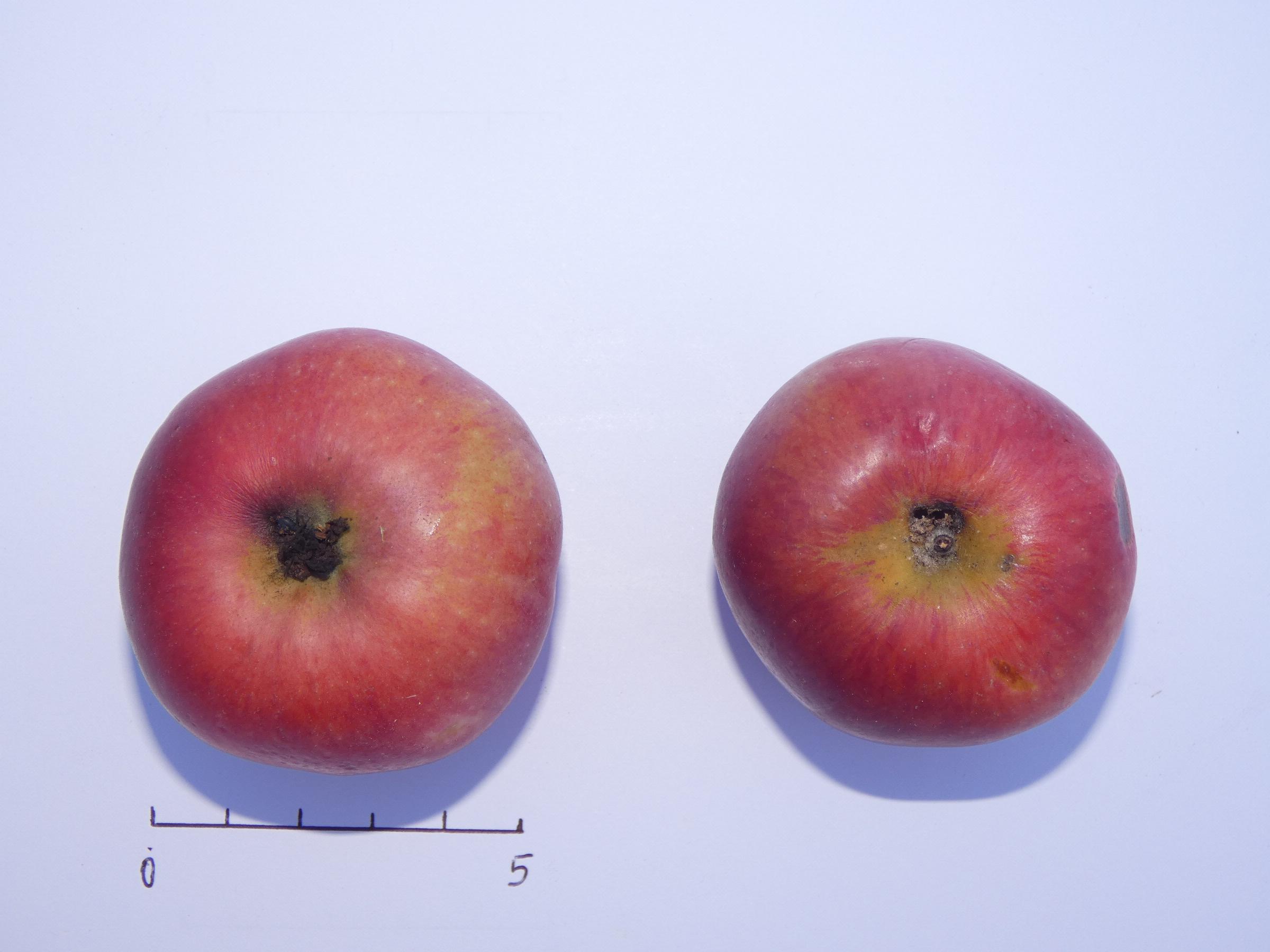 Pomme de cave 3 (VFB)
