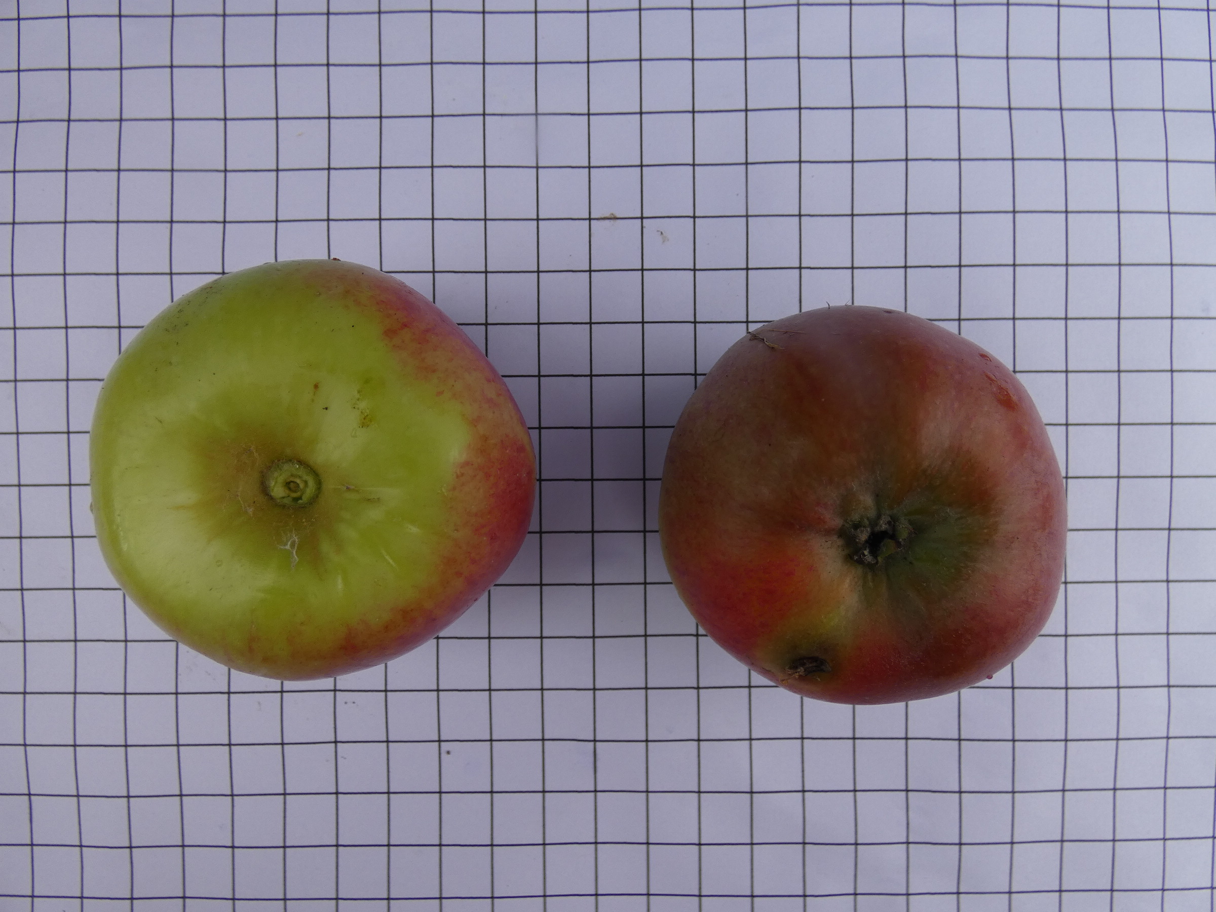 Pomme de cave 2