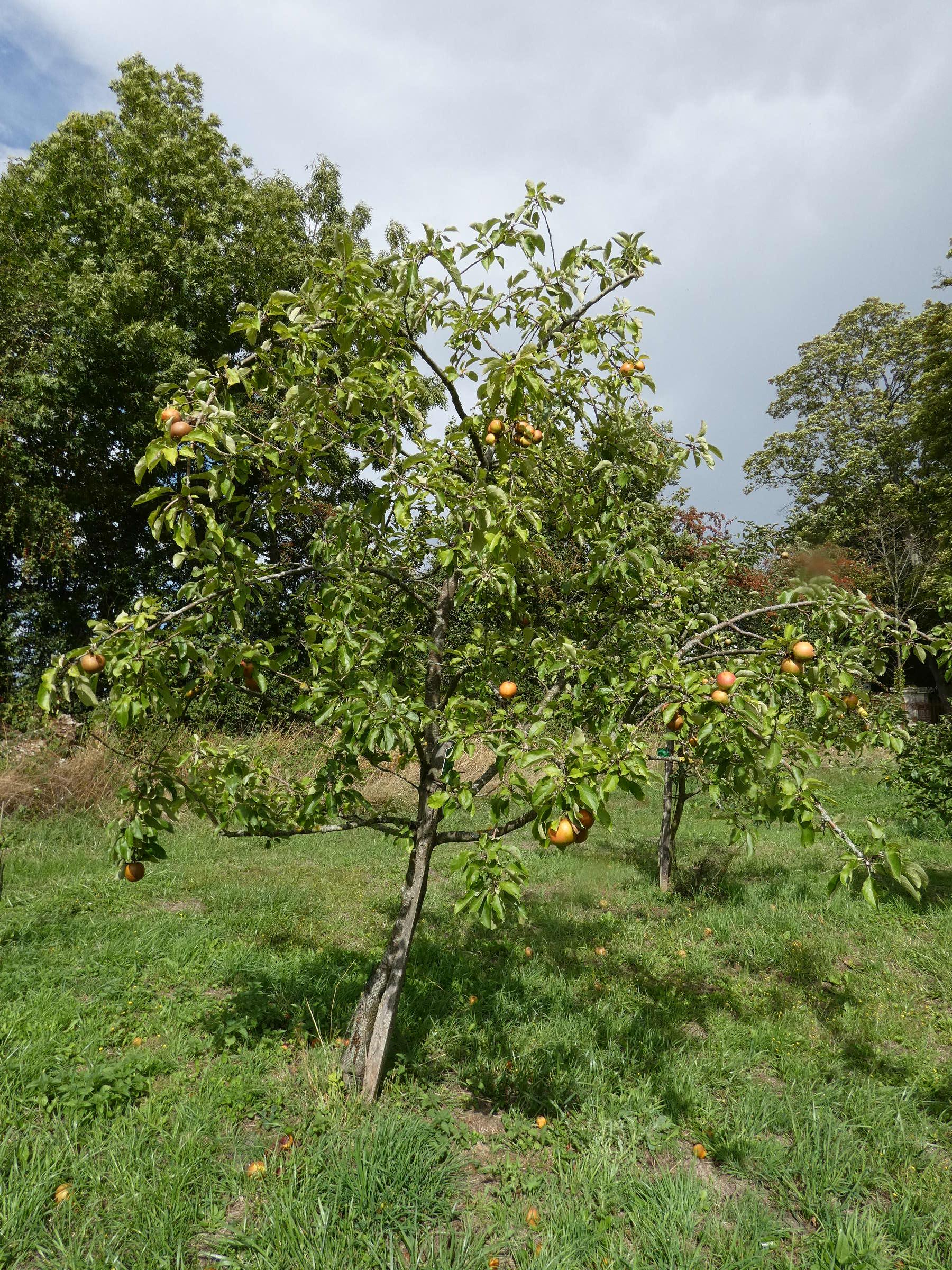 Pomme poire 1
