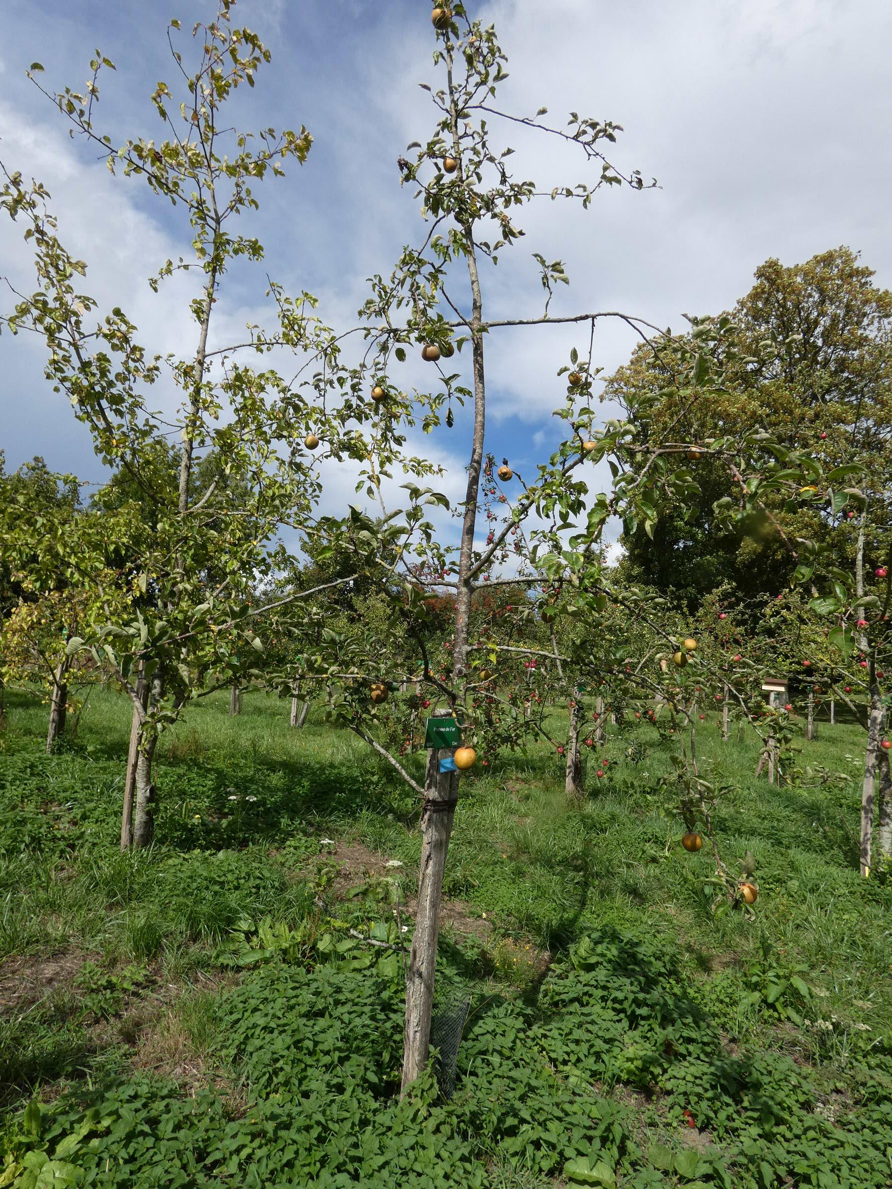 Pomme de fer 2 (VFB)
