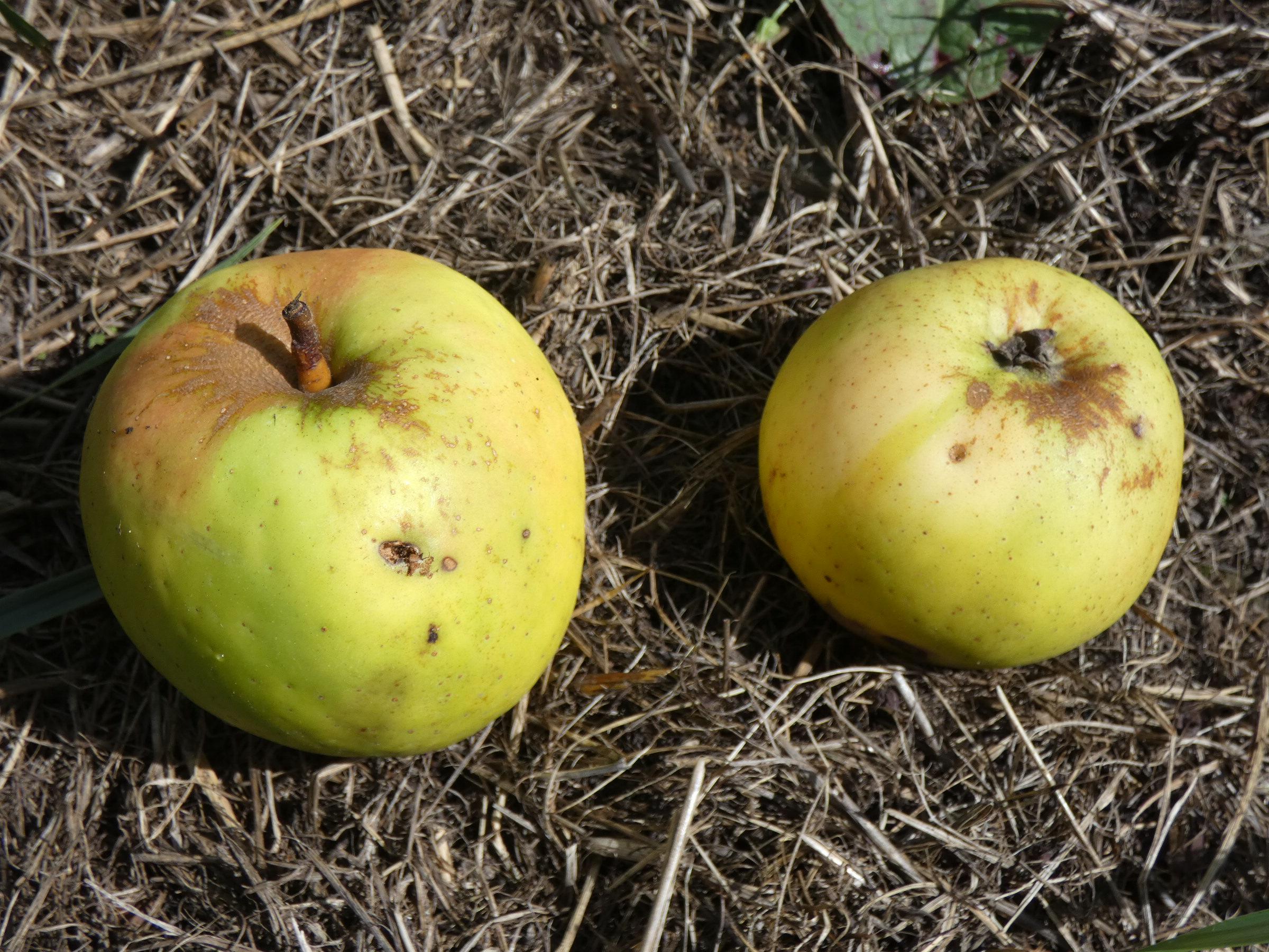Pomme de glace (VFB)