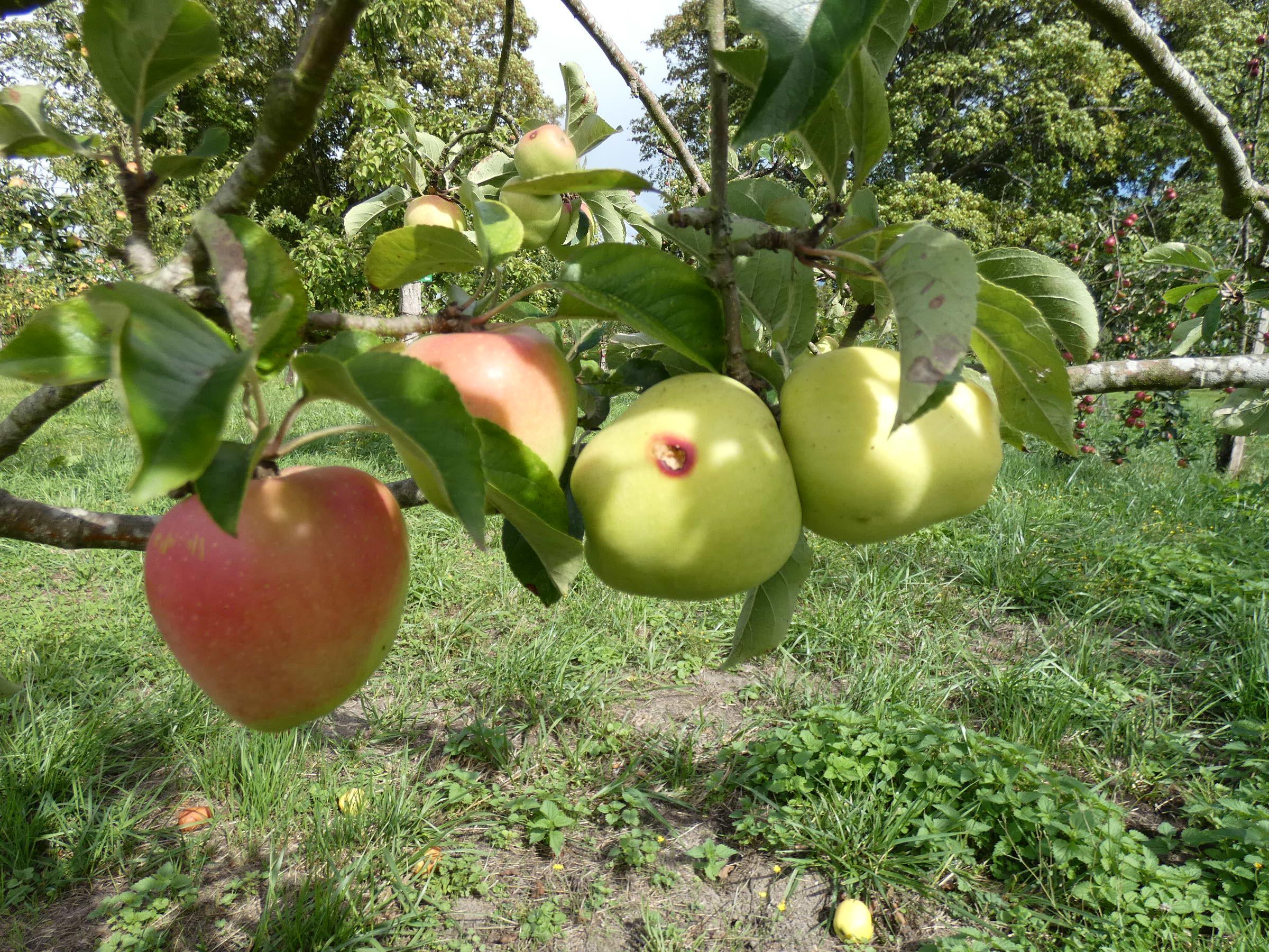 Pomme cloche (VFB)