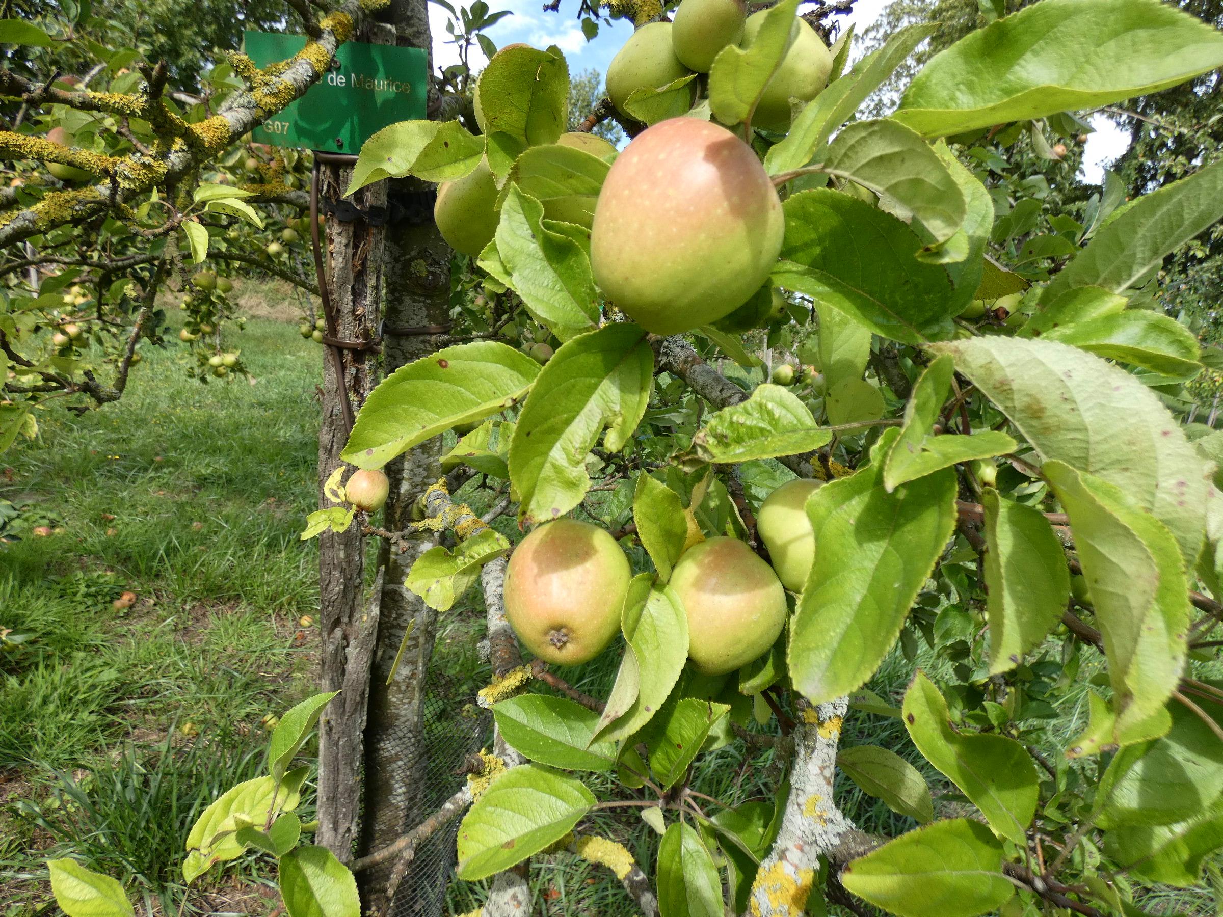 Pomme de Maurice (VFB)