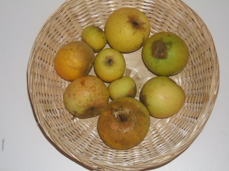 Pomme d'oignon (VFB)
