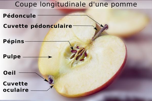 Coupe longitudinale d'une pomme